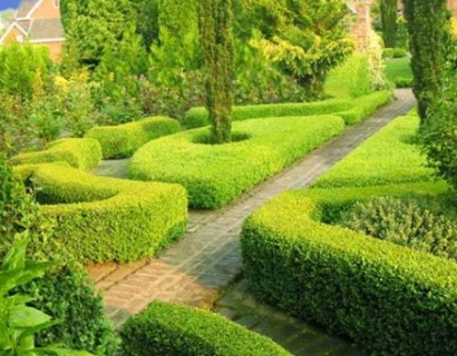 Buxus sempervirens - palm