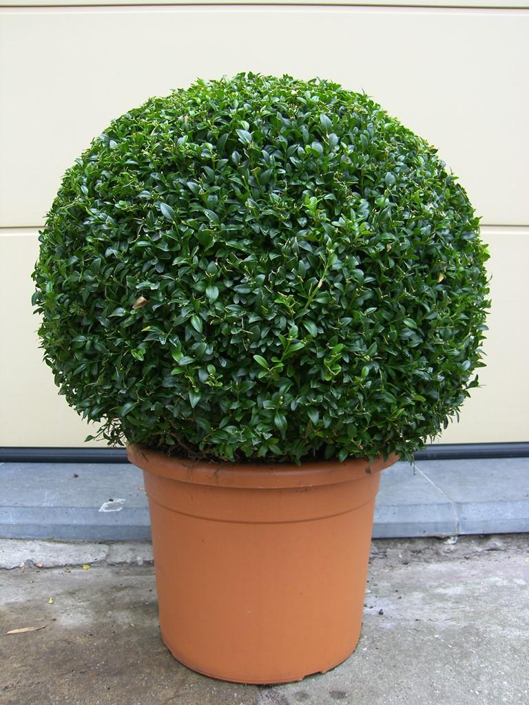 buxus verplanten