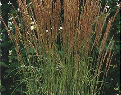 Calamagrostis acutiflora 'Karl Foerster' - pluimstruisriet