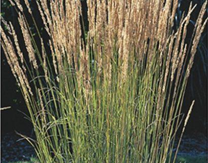 Calamagrostis acutiflora 'Overdam' - pluimstruisriet