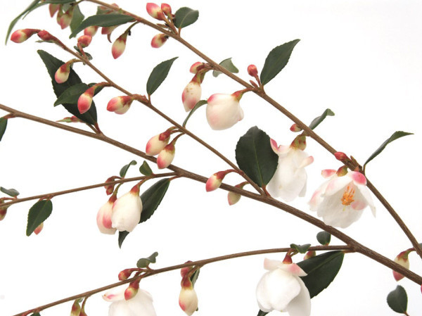 Camellia 'Cupido' - Camellia