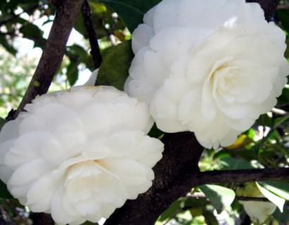 Camellia japonica 'Alba Plena' - Camellia