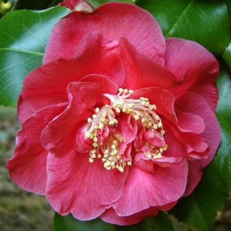 Camellia japonica 'Dr. King' - Camellia
