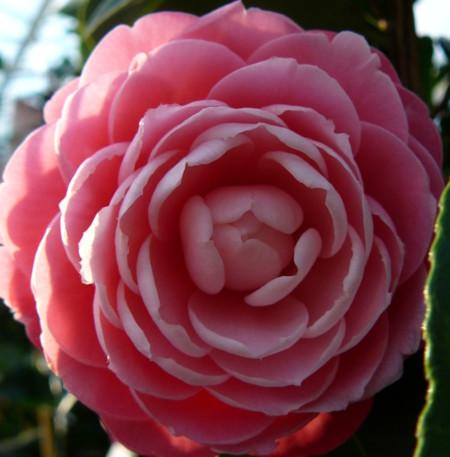 Camellia japonica 'Tiffany' - Camellia