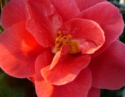 Camellia ret. 'Mary Williams' - Camellia