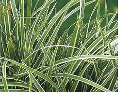Carex morrowi 'Ice Dance' pot 2 liter - zegge