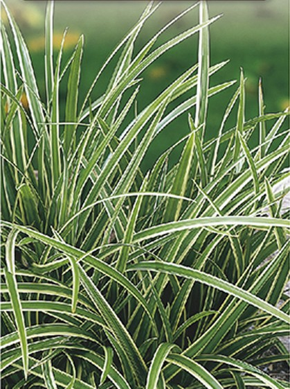 Carex morrowi 'Ice Dance' pot 3 liter