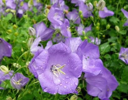 Campanula carpatica 'Blaue Clips' - klokjesbloem