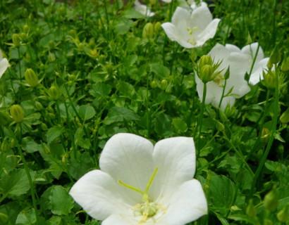 Campanula carpatica 'Weisse Clips' - klokjesbloem