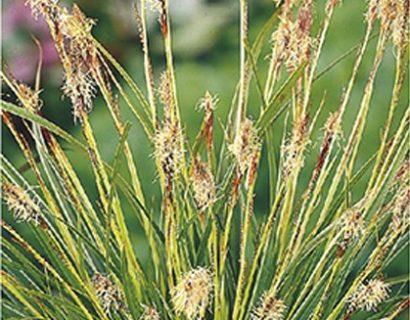 Carex morrowi 'Variegata' pot 2 liter - zegge