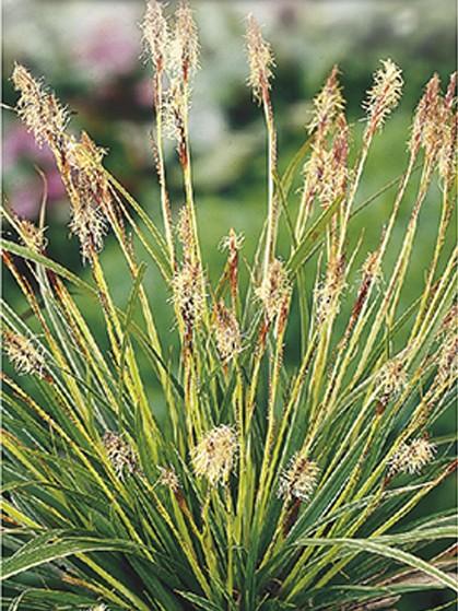 Carex morrowii 'Variegata' - zegge