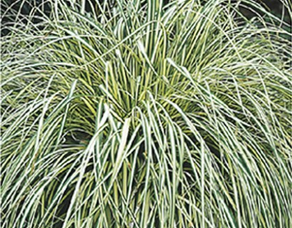Carex oshimensis 'Evergold' pot 3 liter