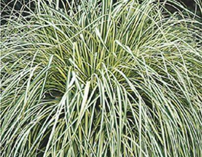 Carex oshimensis 'Evergold' pot 3 liter - zegge