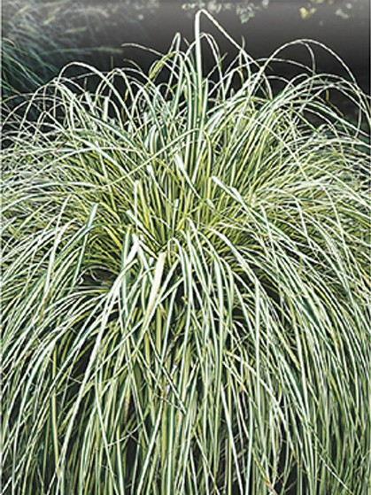 Carex oshimensis 'Evergold' - zegge