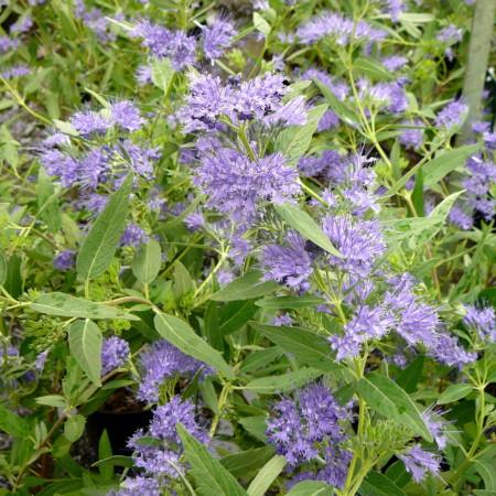 Caryopteris clandonensis 'Heavenly Blue' - blauwe spirea, baardbloem, herfstsering