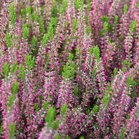 Calluna vulgaris 'Angie' - zomerheide, struikheide