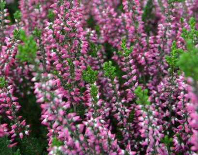 Calluna vulgaris 'Aphrodite' - zomerheide, struikheide