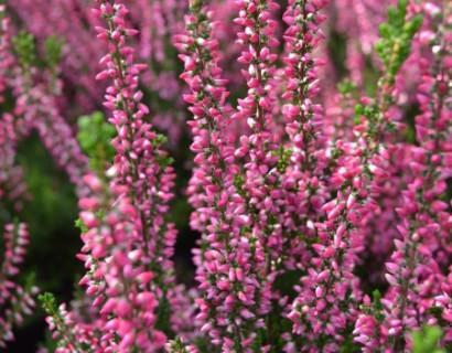 Calluna vulgaris 'Athene'