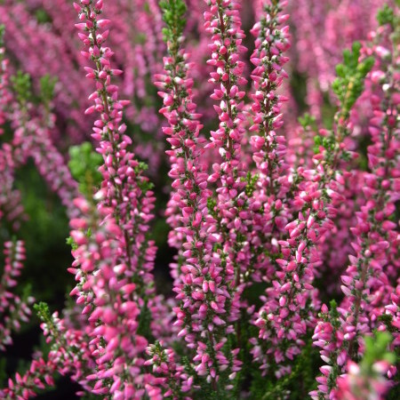 Calluna vulgaris 'Athene' - zomerheide, struikheide