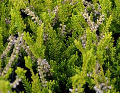 Calluna vulgaris 'Beouly Gold'