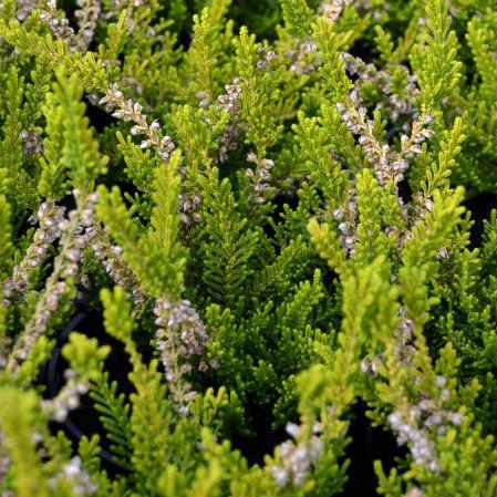 Calluna vulgaris 'Beouly Gold' - zomerheide, struikheide