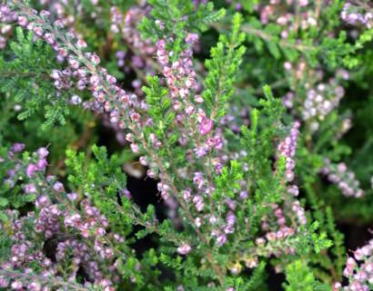 Calluna vulgaris 'C.W. Nix' - zomerheide, struikheide