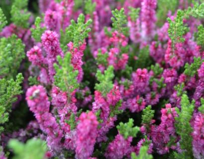 Calluna vulgaris 'Dark Beauty' - zomerheide, struikheide