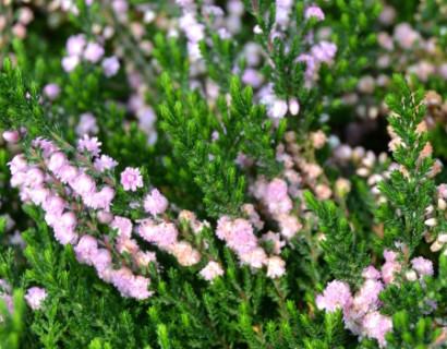 Calluna vulgaris 'Hamilton'