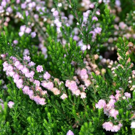 Calluna vulgaris 'Hamilton' - zomerheide, struikheide