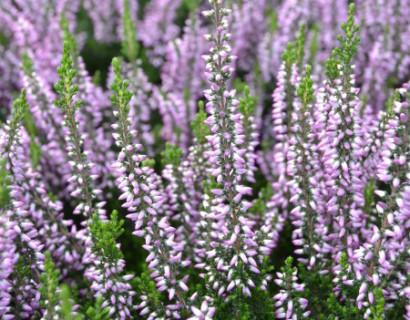 Calluna vulgaris 'Hilda' - zomerheide, struikheide