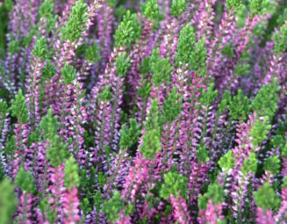 Calluna vulgaris 'Liliane' - zomerheide, struikheide