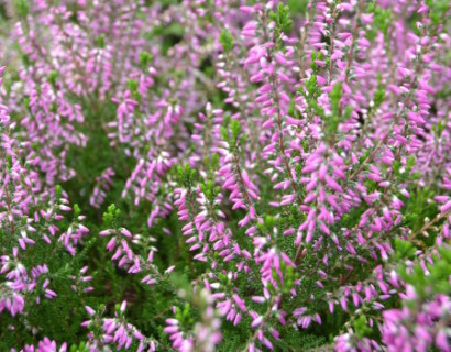 Calluna vulgaris 'Roswitha'