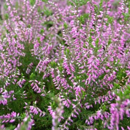 Calluna vulgaris 'Roswitha' - zomerheide, struikheide