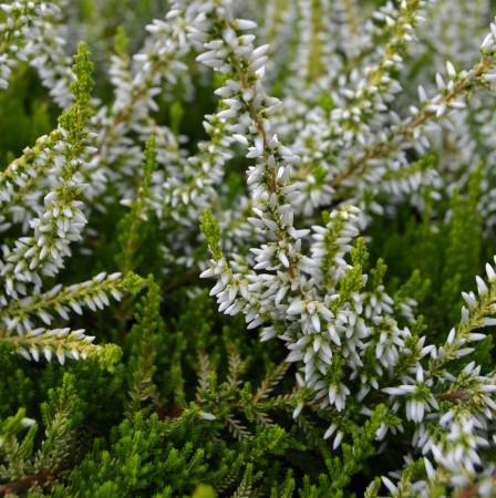 Calluna vulgaris 'Sandy' - zomerheide, struikheide