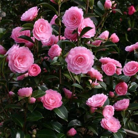 Camellia will. 'E.G. Waterhouse' - Camellia