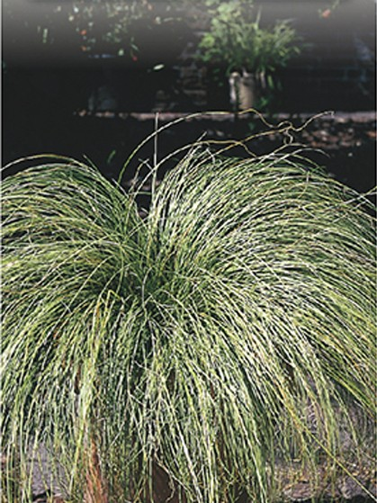 Carex comans 'Frosted Curls' - zegge
