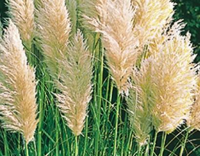 Cortaderia selloana 'Evita' - pampasgras