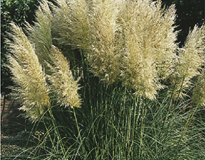 Cortaderia selloana 'Pumila' - pampasgras