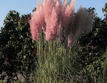Cortaderia selloana 'Rosea' - pampasgras