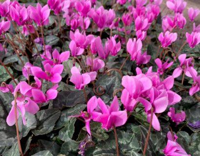 Cyclamen hederifolium - cyclaam / alpenviooltje