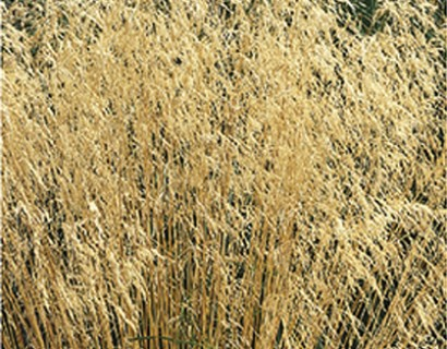 Deschampsia cespitosa - bochtige, ruwe smele