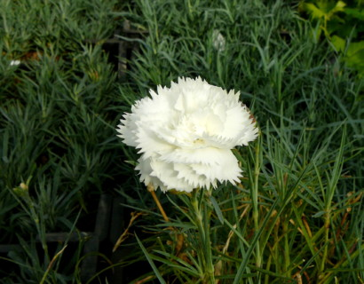 Dianthus plumarius 'Haytor White' - anjer / duizendschoon