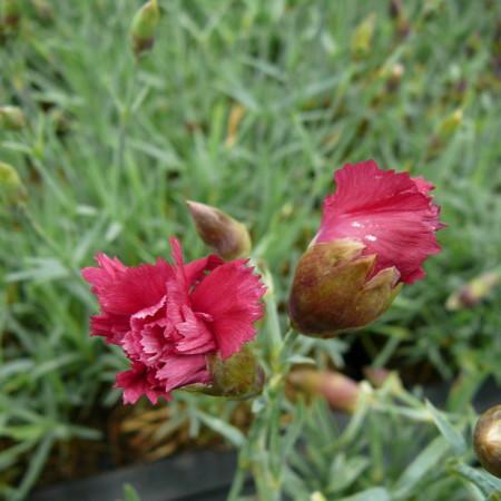 Dianthus plumarius 'Heidi' - anjer / duizendschoon