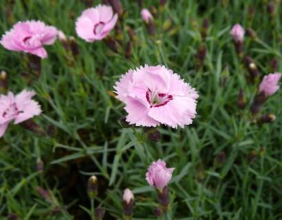Dianthus plumarius 'Rachel' - anjer / duizendschoon