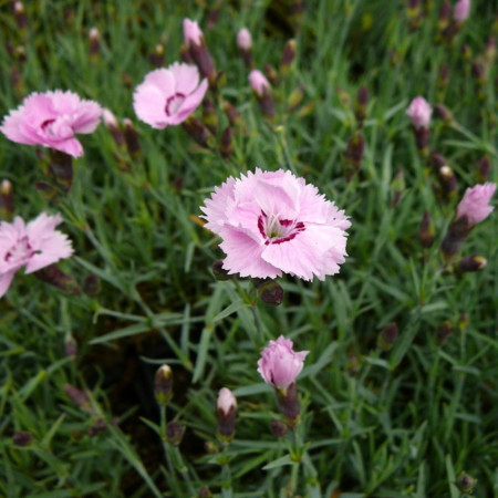 Dianthus plumarius mix - Anjer / duizendschoon