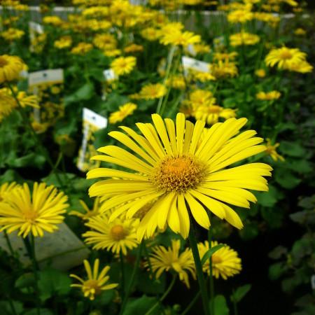 Doronicum orientale (grote pot) - voorjaarszonnebloem