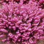 Ik wil graag een heidetuin, welke soorten heide planten zijn er?