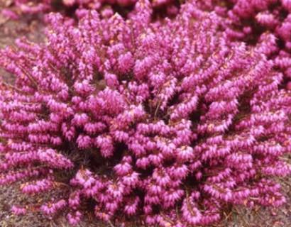 Erica carnea 'Winterfreude' pot 10.5 cm - winterheide, dopheide