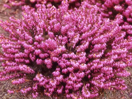 Erica carnea 'Winterfreude' - winterheide, dopheide kopen   Maréchal: www.marechal.be/planten/erica-carnea-winterfreude