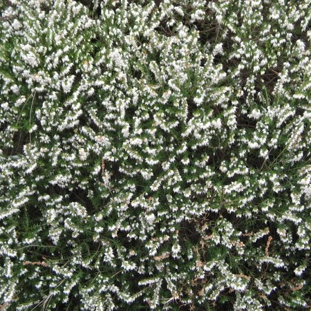 Erica darleyensis 'Silberschmelze' - winterheide, dopheide